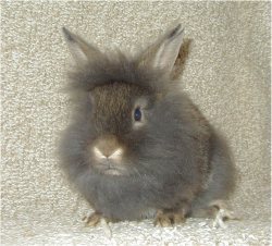 Uploaded Image: lionheadrabbit.jpg
