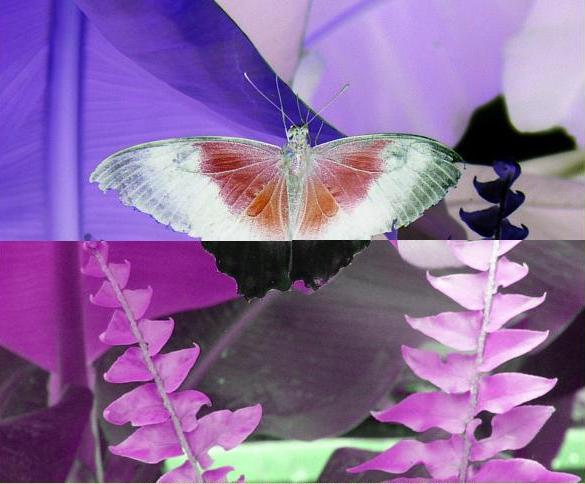Uploaded Image: butterfly2MANIPULATION.JPG